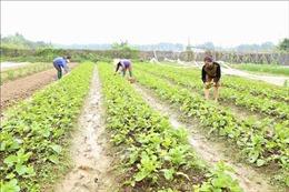 Mướt mắt vùng sản xuất 'rau sạch' hữu cơ ở Thanh Xuân, Hà Nội