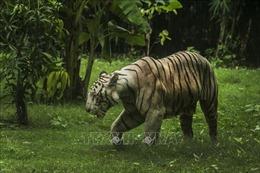 Ảnh hưởng của việc xây dựng đường bộ đến bảo tồn loài hổ trên thế giới