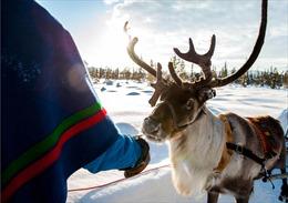 Người chăn tuần lộc chật vật thích ứng với mùa đông bất thường