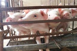 Chủ động ngăn chặn nguy cơ tái phát dịch tả lợn châu Phi