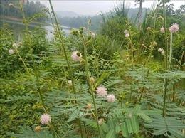 Ngăn chặn sự xâm lấn của cây Mai Dương tại Vườn Quốc gia Bến En