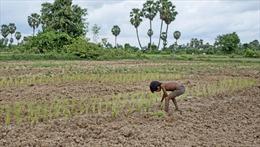 Hạn hán tàn phá hơn 40.000 hécta lúa của Campuchia