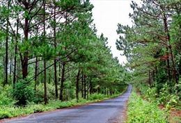 Ra quân trồng thông ba lá đường đèo Măng Đen