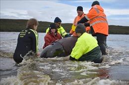Nỗ lực phi thường giải cứu cá voi mắc cạn tập thể tại Australia
