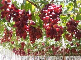Tạo nhiều giống nho mới tăng khả năng cạnh tranh với nho nhập khẩu
