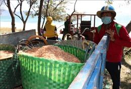 Ngư dân Ninh Thuận được mùa ruốc biển, thu nhập cả chục triệu đồng mỗi ngày
