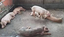 Khoanh vùng, khống chế kịp thời dịch tả lợn châu Phi tái phát