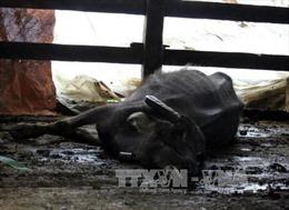 Nhiềutrâu, bò ở Kon Tum chết vì rét