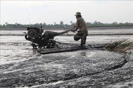 Nhiều diện tích lúa ở Tiền Giang xuống giống không theo khuyến cáo