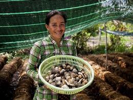 Trồng nấm rơm giúp người dân Khmer ổn định kinh tế