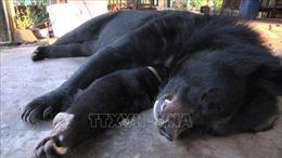 Lĩnh án 3 năm tù vì vận chuyển, buôn bán gấu ngựa