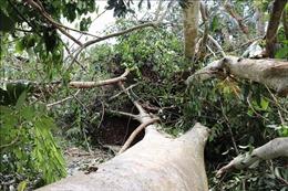 Dông, lốc xoáy tàn phá 100 ha rừng tự nhiên trong Vườn Quốc gia Lò Gò - Xa Mát