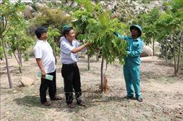 Hiệu quả từ mô hình trồng rừng trên núi đá tại Ninh Thuận