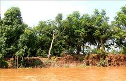 Sạt lở khoảng 70m đê bao sông Cổ Chiên, gây thiệt hại 4 tấn cá giống