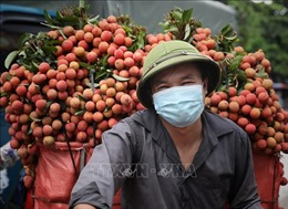 Bắc Giang hoàn thành tiêu thụ vải chín sớm