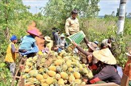 Nông dân trồng dứa 'hụt hơi'vì thiếu nơi tiêu thụ
