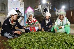 Phát triển kinh tế vùng đồng bào dân tộc thiểu số và miền núi: Bài 2 - Hình thành nhiều dự án, cây trồng đặc sản địa phương
