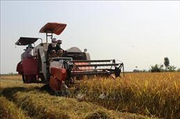 Sóc Trăng kịp thời hỗ trợ vùng dịch thu hoạch, tiêu thụ lúa Hè Thu