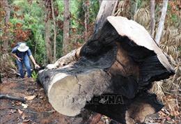 Phản hồi thông tin của TTXVN: Khởi tố các vụ phá rừng phòng hộ đầu nguồn ở Sơn Hòa