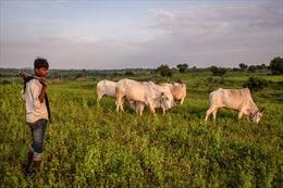 Chính quyền Ấn Độ đột ngột bỏ kỳ thi cấp quốc gia về bò