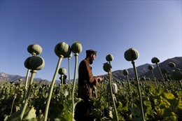 Taliban ban hành lệnh cấm sản xuất thuốc phiện tại Afghanistan