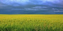 Mẹ và cánh đồng