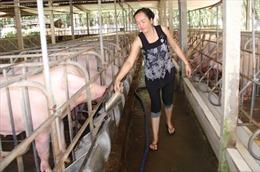 Các trang trại, người chăn nuôi cảnh giác dịch bệnh tả lợn châu Phi