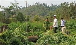 Đắk Nông tiêu hủy hơn 1.000 cây cần sa tại huyện Krông Nô