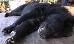 Sơn La: Người dân tự nguyện giao nộp hai con gấu ngựa