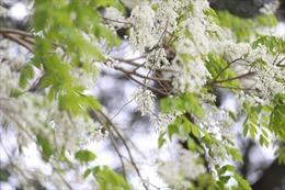 Hoa sưa nở bung trắng khoảng trời Hà Nội