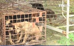 Bắt giữ đàn chó cắn cháu bé 7 tuổi tử vong tại Hưng Yên