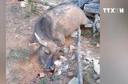 Trâu bò chết khi uống nước gần mỏ khoáng sản Bắc Kạn