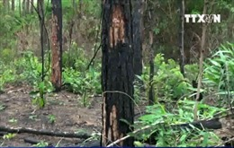 Khởi tố vụ án hàng ngàn cây thông bị hạ độc ở Lâm Đồng