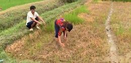 Thanh Hóa: Lúa bị chết cháy sau khi phun thuốc trừ cỏ