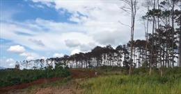Lâm Đồng khởi tố, bắt giam 6 người đầu độc rừng thông