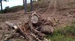 Ngang nhiên phá rừng thông 20 năm tuổi tại Lâm Hà