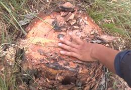 Yêu cầu đối tượng chủ mưu trồng lại rừng thông đã phá