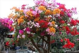Cây hoa giấy ngũ sắc giá hàng trăm triệu hút khách lùng mua chơi Tết