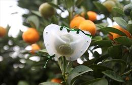 Độc đáo quất bonsai có quả hình 'đĩnh vàng' để chơi Tết