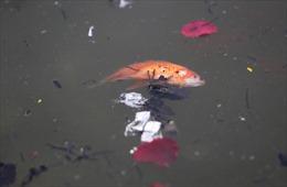 Cá chép ông Công, ông Táo ngắc ngoải vì tro, chân hương bị người dân thiếu ý thức thả xuống hồ