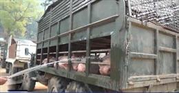 Phát hiện số lượng lớn lợn vận chuyển trái phép