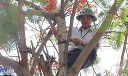 Chặt hạ cây phượng đồng loạt là cực đoan