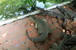 Trại cá sấu lớn nhất miền Bắc thiệt hại gần 200 triệu/tháng vì dịch COVID-19
