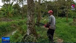 Người dân Bến Tre bắt đầu chặt bỏ cây sầu riêng