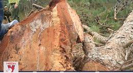 Xử phạt đối tượng đầu độc rừng thông 11 triệu đồng
