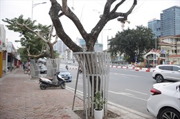 Nhiều cây sưa đỏ trên đường Nguyễn Văn Huyên bị chết khô