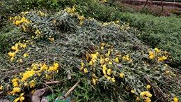 Làng hoa Tây Tựu lao đao vì dịch, hoa vứt bỏ đầy đồng
