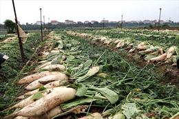 Hà Nội: Trắng đồng củ cải, đỏ ruộng cà chua... không ai thu hoạch