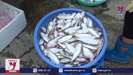 Cá mòi - Đặc sản trời cho trên sông Hồng