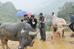 Kiểm soát buôn lậu gia súc qua biên giới ở Lào Cai, Hà Giang
